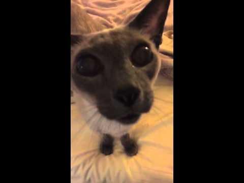 Barking siamese cat - Barky Cat