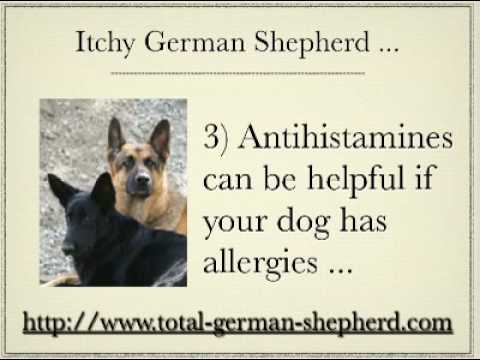 Itchy German Shepherd - Dog Scratching - Itchy Dog - Dog Itching