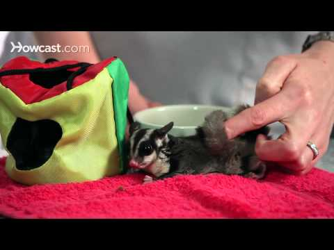 How to Bond with a Sugar Glider | Sugar Gliders