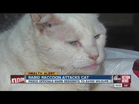 cat attacked by rabid raccoon