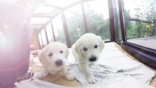 Virtual Dream - 360 Golden Retriever Puppies !