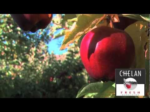 Harvesting Red delicious Apples
