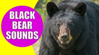 BLACK BEAR SOUNDS | Learn Animals with Kiddopedia #Shorts