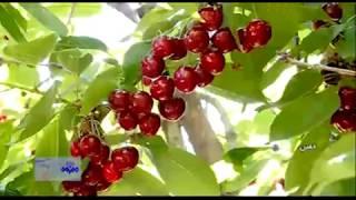 Iran Cherry harvest, Khomein county برداشت گيلاس شهرستان خمين ايران