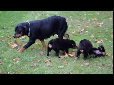 PuppyFinder.com : AKC Registered Rottweiler Puppy For Sale Fredericksburg Ohio