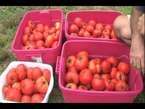Rutgers Heirloom Tomatoes - The First 100 Pounds