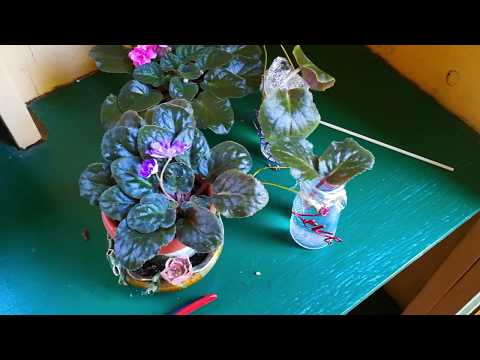 Easy Way to Root African Violets