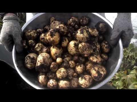 Potato harvesting from potatoes bags.