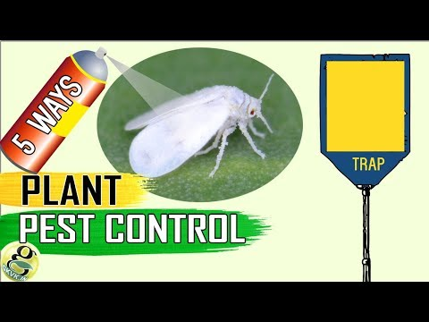 PEST CONTROL: 5 Easy Ways to Control Aphids Whiteflies Mealybugs Spider mites - Kill/Eliminate