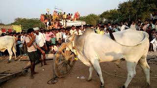 Devibetta a village bulls pradarshana