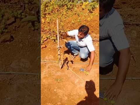 Mango pruning UHDP (ultra high density planting)