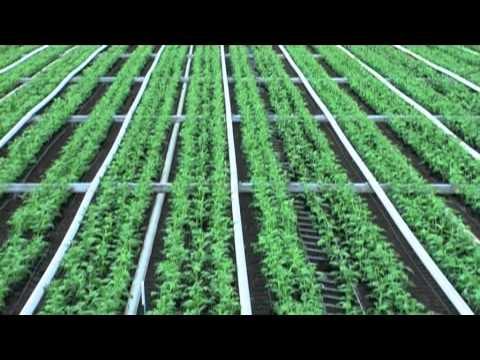 Cut flower production: Chrysanthemums