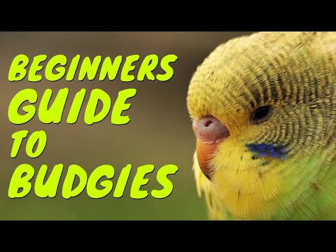 How to pick a healthy budgie?