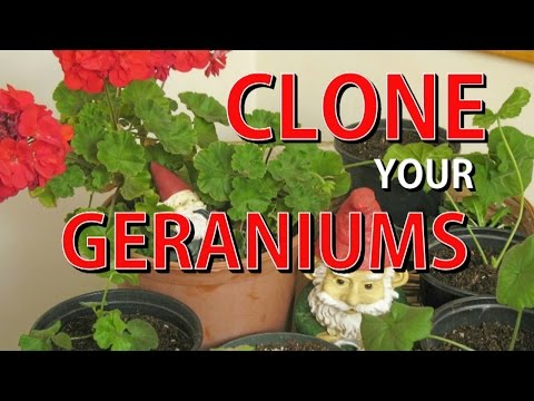 How to Take Cuttings and Clone Geraniums