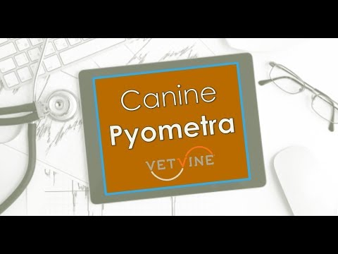 Canine Pyometra - Why Some Dogs Don't Get Better With Medical Treatment or Experience Relapses