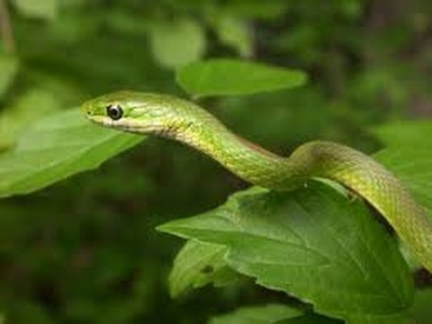 Rough Green Snake Care