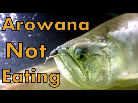 Silver Arowana - Not Eating - Complete Solution (Ramadan Special)