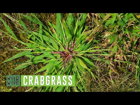 Weed of the Week #1046 Crabgrass (Air Date 4-22-18)