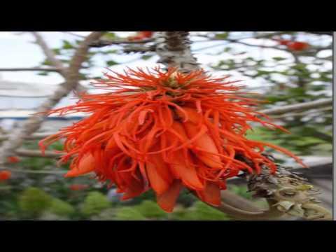 Zambullidor de junin reproduccion asexual de las plantas