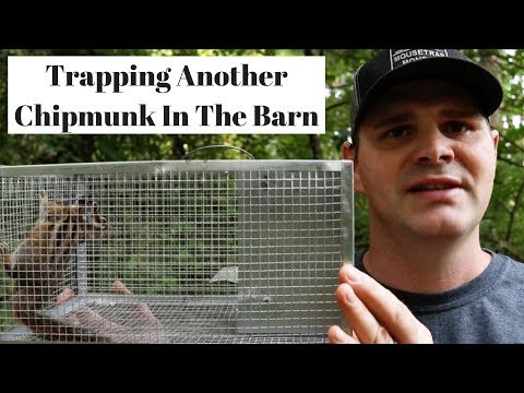 Trapping Another Chipmunk In The Barn With A Simple Cage Trap.