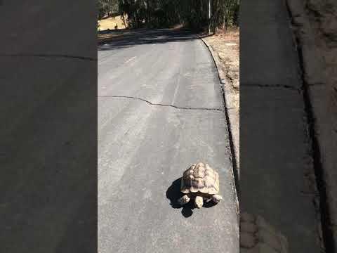 Sulcata Tortoise climbing a 14% steep hill like it was flat!