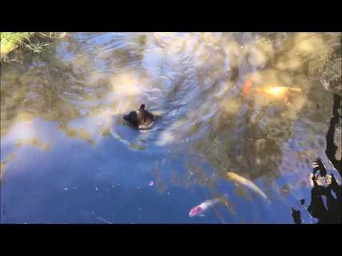 Black Bear Swimming With Koi Fish