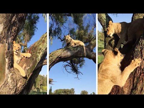 Lions Cubs Climb Tree Like Monkeys