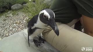 Toronto Zoo Penguin Colony-Feeding