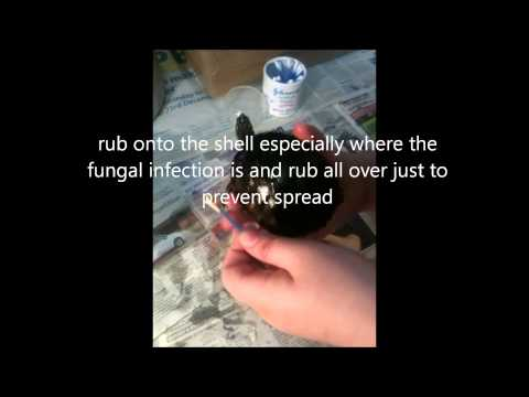 How to treat fungal infections on turtles