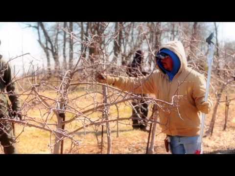 Apple Tree Pruning in Pennsylvania