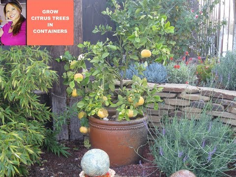 Grow Citrus Tree- Meyer Lemons in a Container