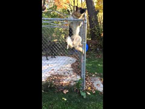German Shepard Jumps 6ft Fence