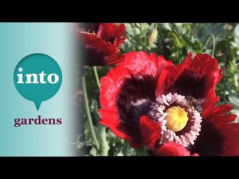 Birds, Bees and Poppies