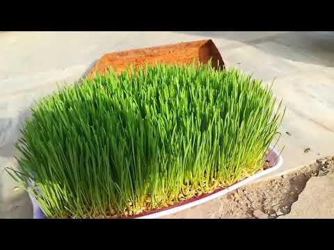 Hydroponic Fodder in Pakistan in Urdu / Hindi / How to Grow Fodder Without Soil / matti k Bina chara
