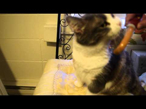 Janice the Cat: Getting the Brush