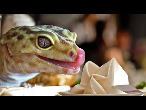 What Do Leopard Geckos Eat?  | FAQ FRIDAYS
