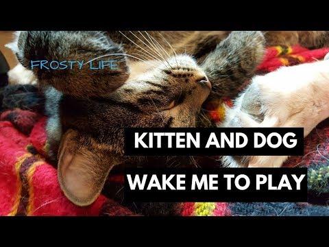 Playful Bengal Tabby Kitten and Lab Pit Mix Dog Wake Me