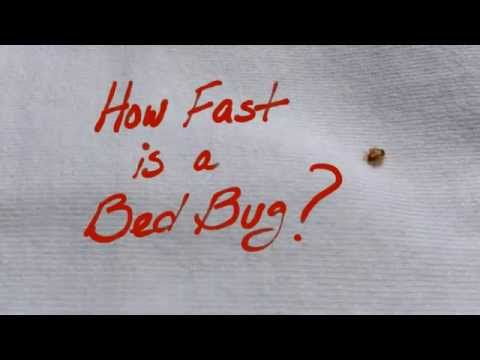 How Fast is a Bed Bug?