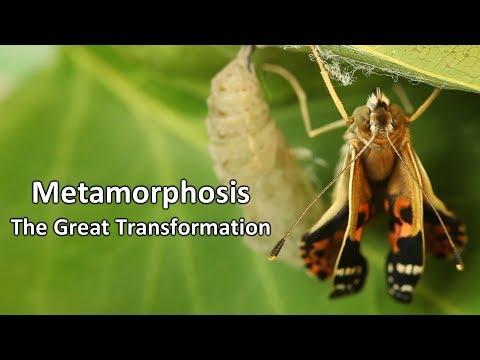 Metamorphosis  - The Great Transformation