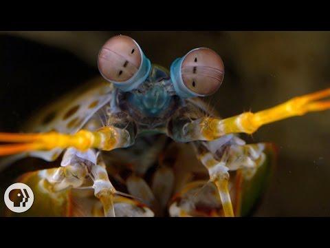 The Snail-Smashing, Fish-Spearing, Eye-Popping Mantis Shrimp | Deep Look