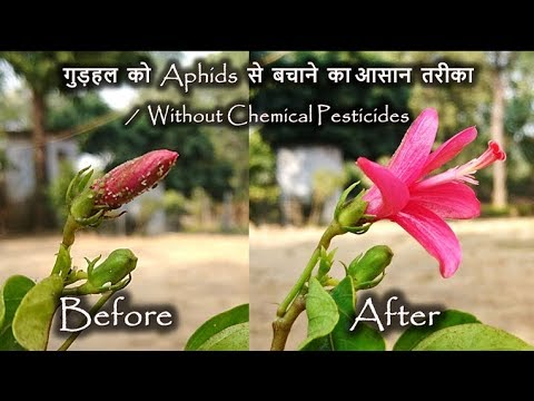 Easiest & successful way to control Aphids on Hibiscus // Organic Method No Chemical Insecticide