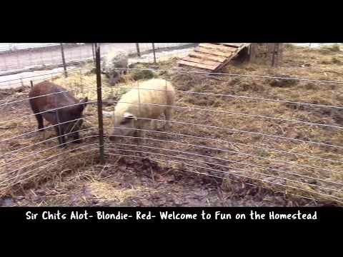 Stinky Pig Pen? Not if you do this - Fun on the Homestead