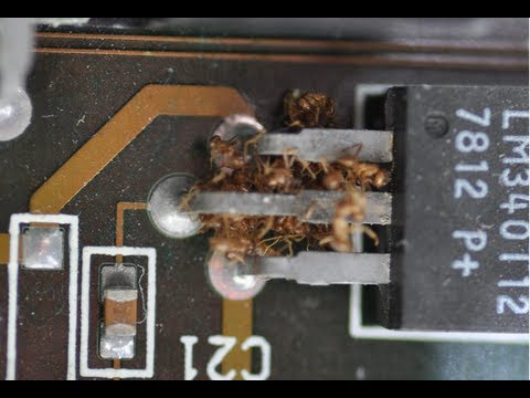 Crazy Ants Can DESTROY Your Electronics
