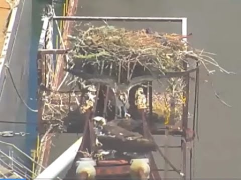 Both Whirley Crane chicks have fledged   July 5, 2017