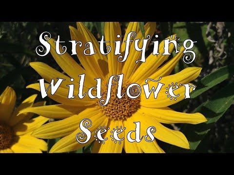 Stratifying Wildflower Seeds