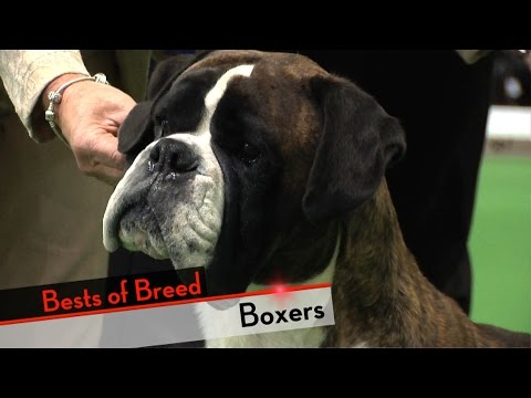 Boxer - Bests of Breed