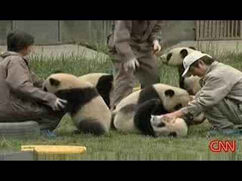 Rescued Panda During China Earthquake
