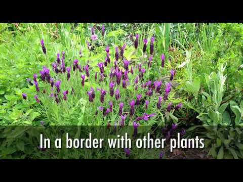 How to Grow Lavender for Cuttings, Craft & Beneficial Insects