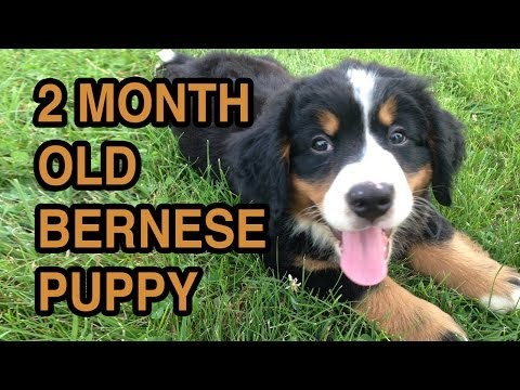 Bernese Mountain Dog Puppy - 2 Months Old