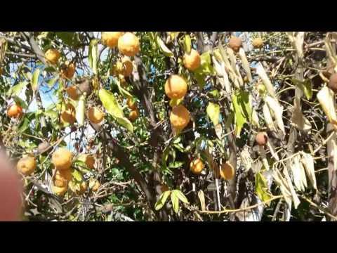 Citrus Tree Sick Sun City AZ 480 969 8808 Warners Tree Surgery 01 21 2017